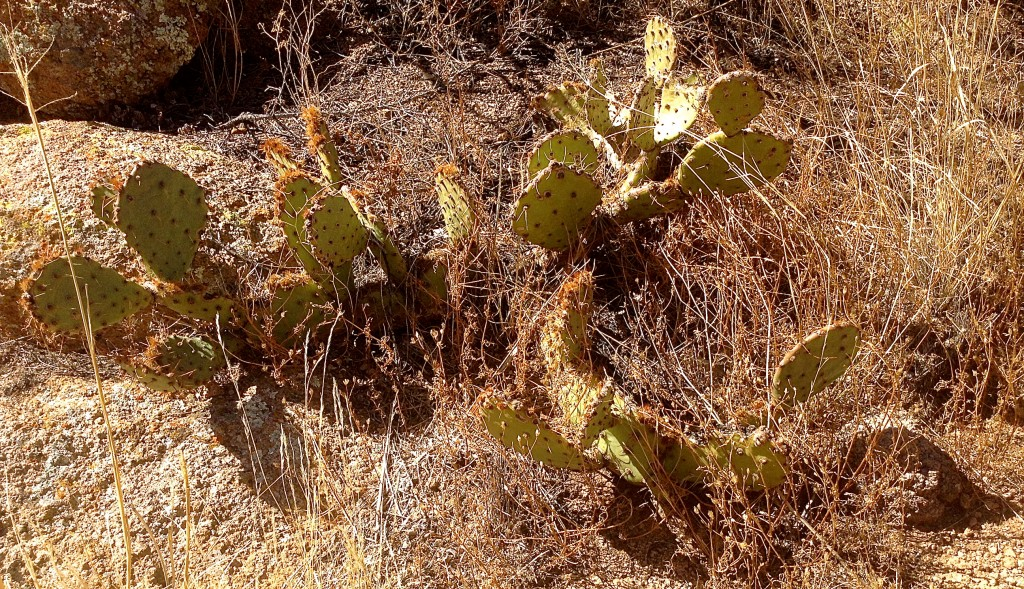 Nopal cactus, source of nopalitos, cactus on your plate.