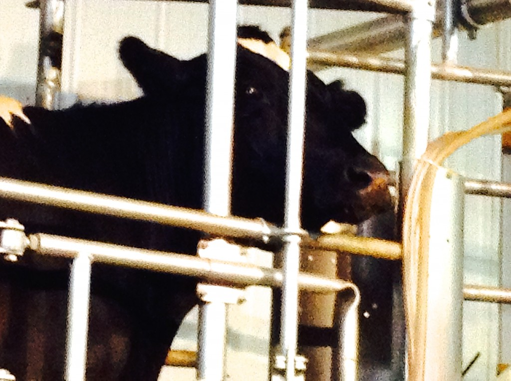 Cow spies paparazzi while being milked, an procedure vital for New Mexico's cultural past, present, and future.
