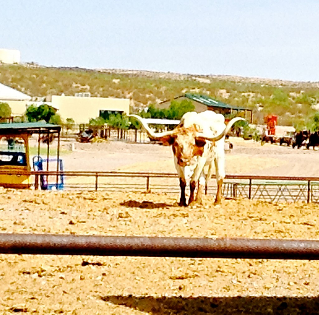 Texas Longhorn, part of New Mexico's cultural past and economic prosperity.