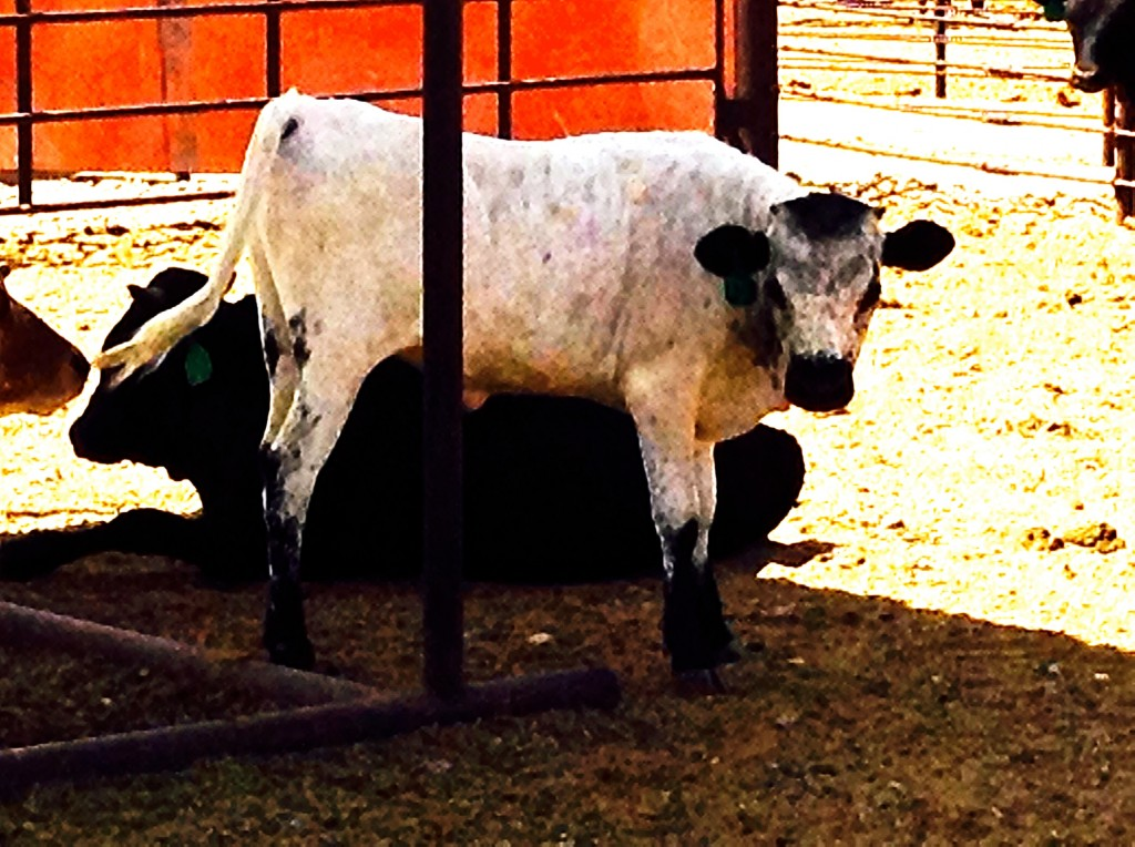 Weaning cattle, part of New Mexico's cultural past AND future.