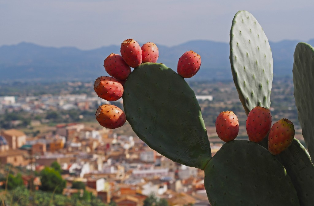 Ripe fruits of prickly pears - Indian fig opuntia (O. ficus-indica) by spanish_ikebana.