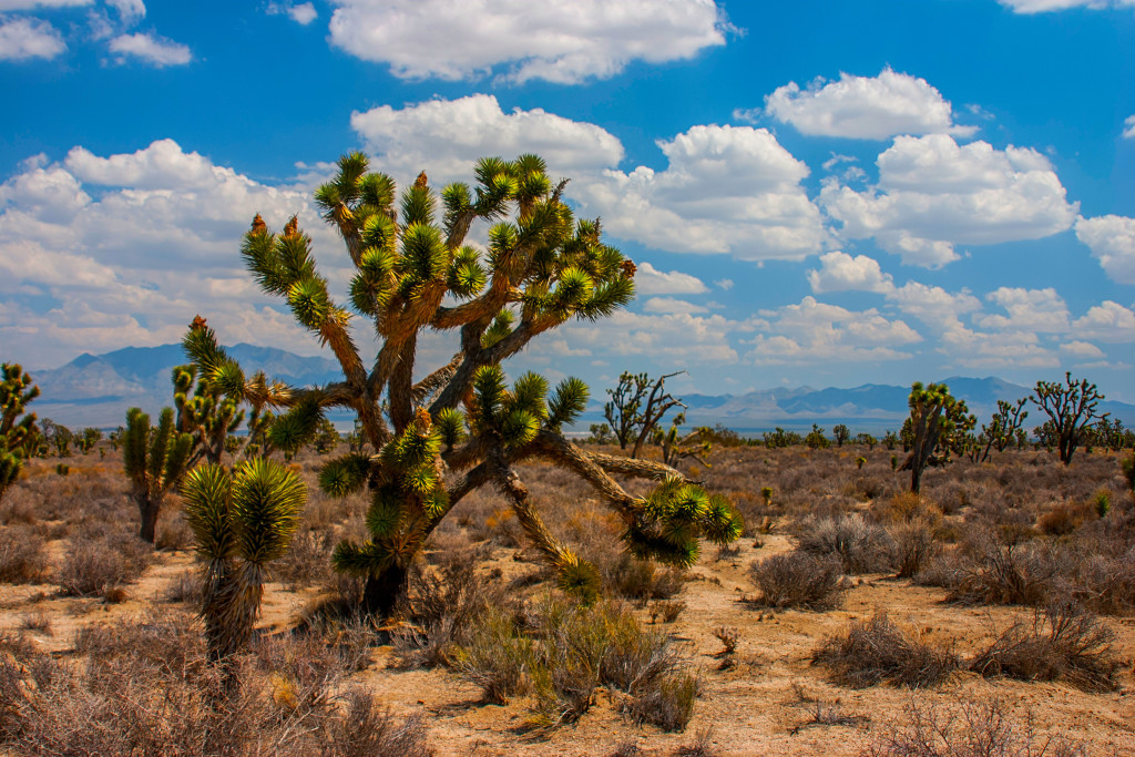 Plants like this Joshua Tree in the Mohave desert, Nevada, is one of the sights you'll see on your Southwest desert road trip; photo by snyfer.