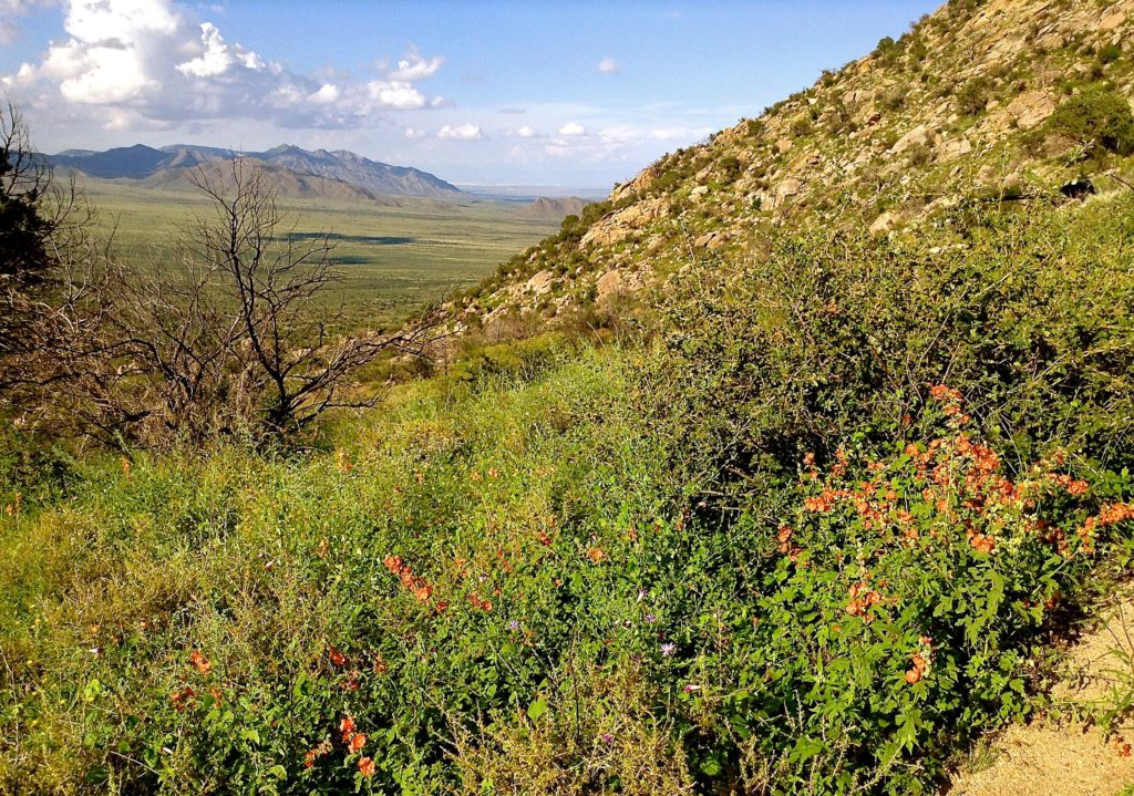 Wildflower-covered hillside on the Pine Tree Trail, an Aguirre Spring scenic hike.