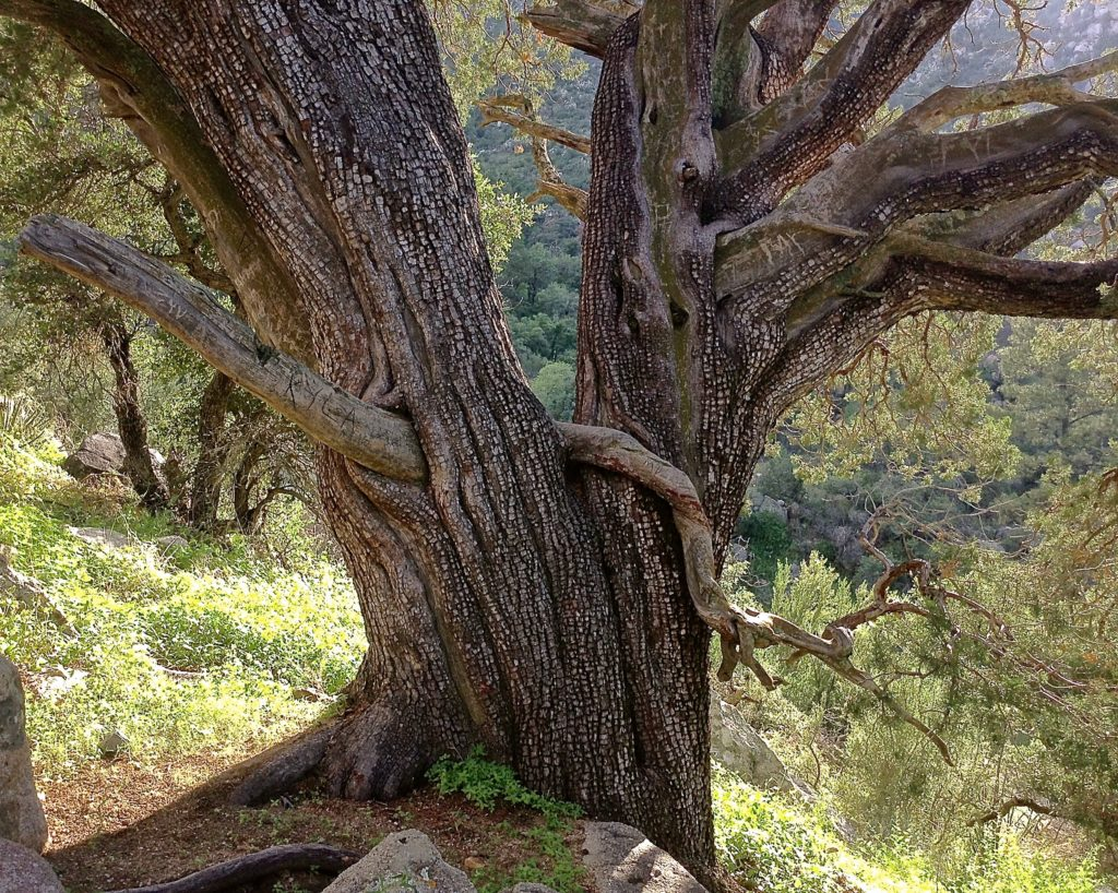 Sincerely twisted juniper tree, one of the sights on the Pine Tree Trail, an Aguirre Spring scenic hike.