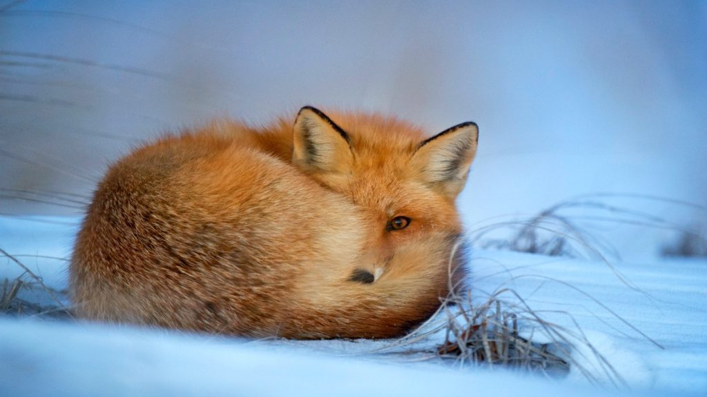 Something you might see in your New Mexico travel through the Chihuahuan Desert: a red fox curled up at dusk to sleep for the evening in a cold winter snow. Photo by Ray Hennessy.