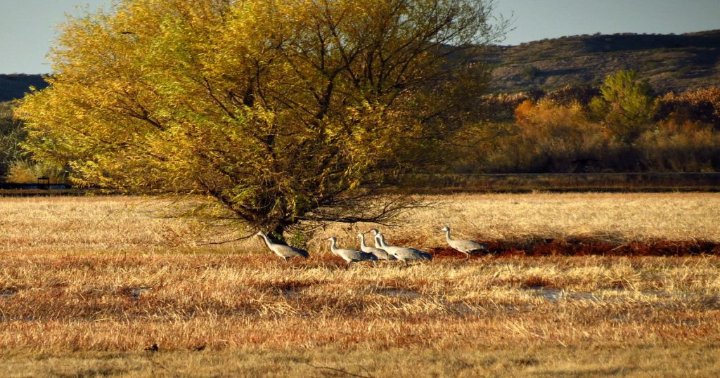 Sandhill Cranes at Bosque del Apache National Wildlife Refuge, New Mexico ~ a New Mexico wilderness area; photo by KrisNM.