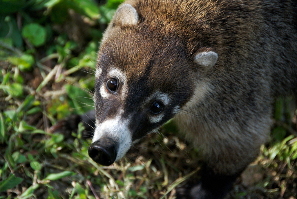 "A white-nosed coati, one of the wild animals you're likely to see in the New Mexico Wilderness known as the ""Blue Range."""