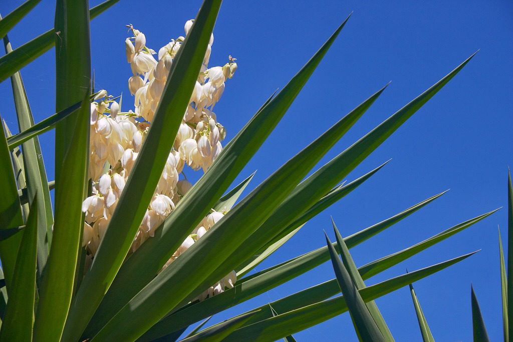 Yucca leaves are one reason why a first-aid kit is among the top New Mexico road trip essentials. Image: Yucca by ferrete.